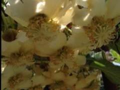 キウイの花つけ