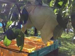ルレクチェ収穫