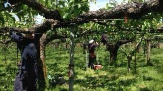 100才の梨の木がんばれー