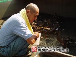 合鴨や真鴨の飼育
