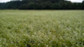 小千谷そば畑です。