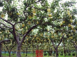 梨畑の中から