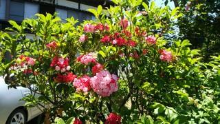 カルミアが咲きました。