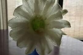 サボテンの花です。