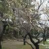 梅‼咲いています。