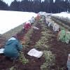 雪下人参収穫