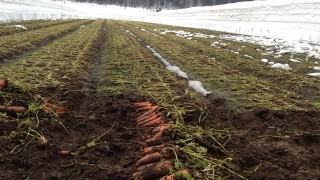 雪下人参の収穫準備