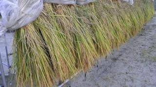種籾の刈取り
