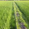 稲真っ盛り