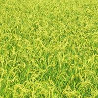 玄米食には安全なお米を