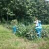 中学生の農業体験 2日目