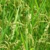 光合成で大きな米粒