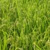 稲の品種(コシヒカリ)