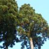 杉の冬支度