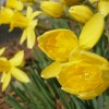 春の花「スイセン」
