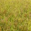 地域の稲刈り始まる