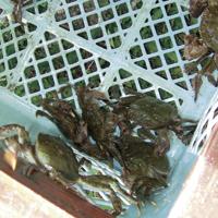 天然取れたての蟹は、元気で今の季節は大漁に取れます。