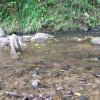 綺麗な川に棲むモクズガニ