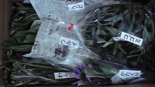 遅ればせながら山菜の出荷が始まりました。