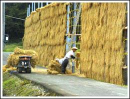 棚田での米づくり 10月