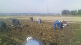 里芋の収穫風景