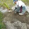 減農薬での里芋栽培