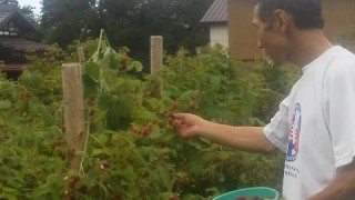 ラズベリーの収穫