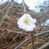 折れた桜の枝にも花が!