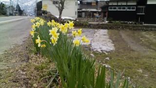 水仙が咲き始めました。