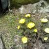 福寿草が咲きました。