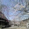 公園の桜の花が満開です。