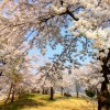 桜のトンネルです。