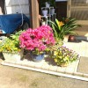 わが家の玄関先は、花盛りです。