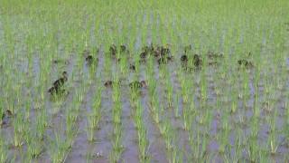 稲と共に育っていく鴨