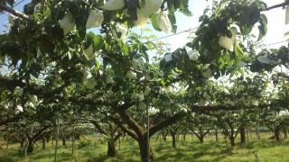 最近の梨畑の様子 from片山