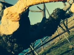 晴れた日は、梨畑!