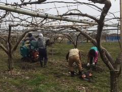 梨の畑は、花の準備