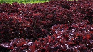 有機栽培のしそ畑