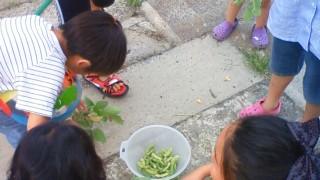 孫も枝豆を育てています