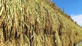 古代米の収穫