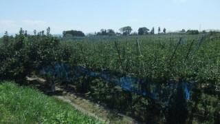 我が家の梨畑