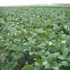 茶豆の収穫が間近です