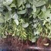 早生枝豆の発送