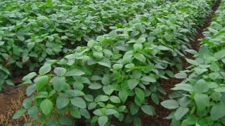 茶豆の収穫が近づいて