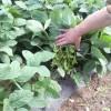 来週から枝豆出荷スタート