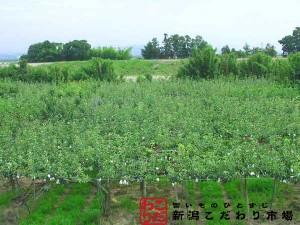 小阿賀野川沿いの梨畑
