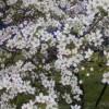 梨の花粉樹の花が咲きました。