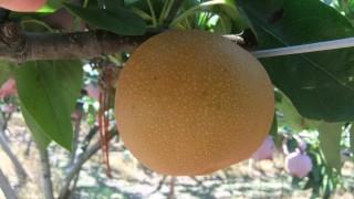 梨の季節です