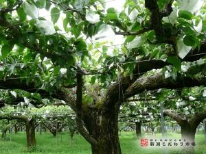 歴史ある梨の高齢樹