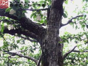 樹齢80年以上の大木